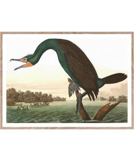 Ptaszor Lorida Cormorant