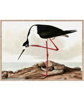 Ptaszor Long legged Avocet