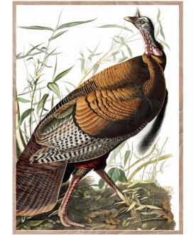 Ptaszor Wild Turkey