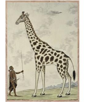 Żyrafa jedna