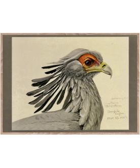 Ptaszor Secretary Bird