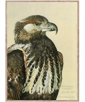 Ptaszor African Sea Eagle