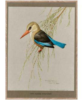 Ptaszor Gray Headed Kingfisher