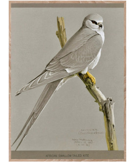 Ptaszor African Swallow