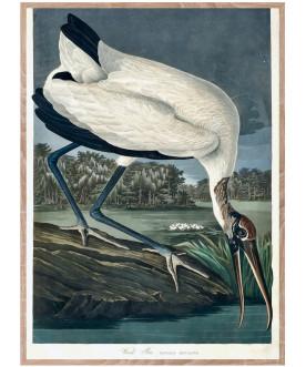 Ptaszor Wood Ibis