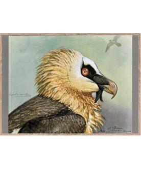 Ptaszor Bearded Vulture