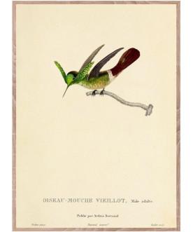 Ptaszor Male JEUNE